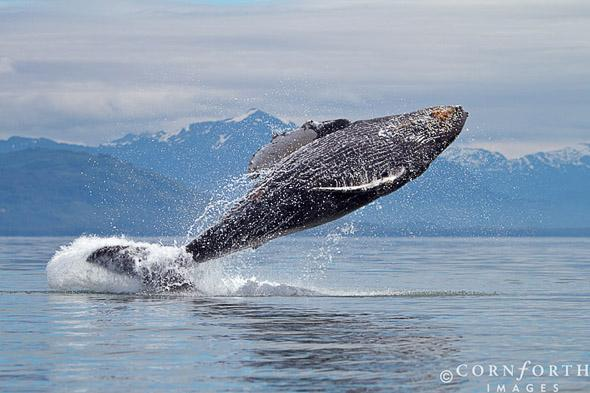 Humpback Whale Breach 108, Frederick Sound, Alaska