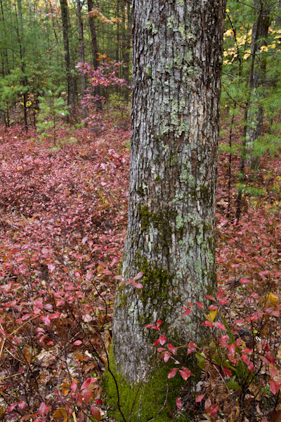 New Hampshire forest in fall photographed without a polarizer.