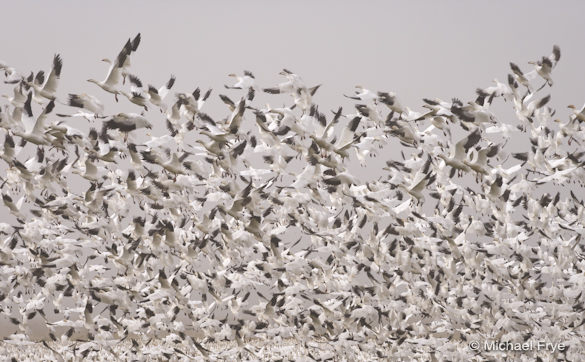 Ross' geese taking flight yesterday at Merced National Wildlife Refuge