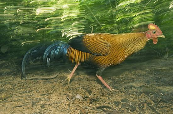 Junglefowl.2.Schafer1