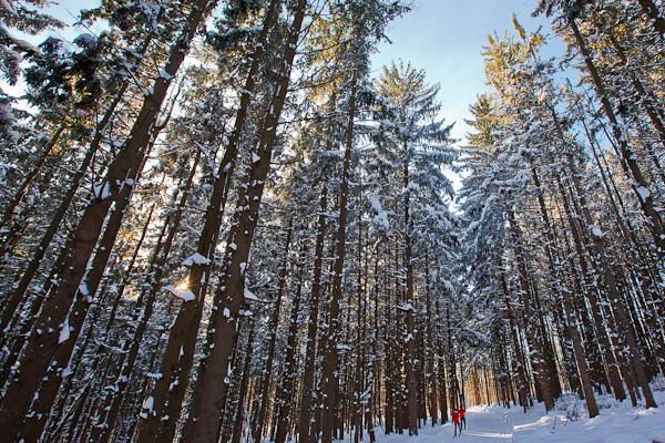 Cross country skiers in a spruce forest at the Notchview Reservation in the Berkshires.  Windsor, Massachusetts.