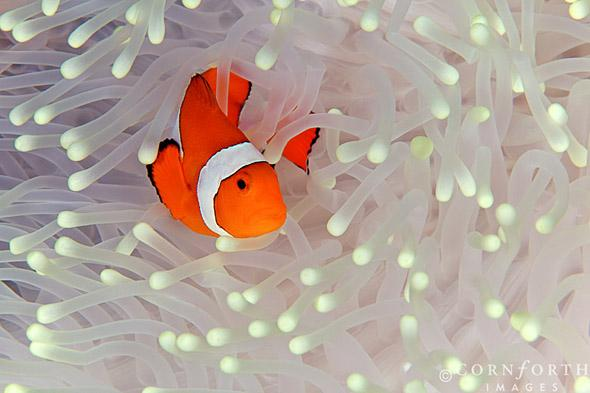 False Clown Anemonefish 01, Misool, Raja Ampat, Indonesia