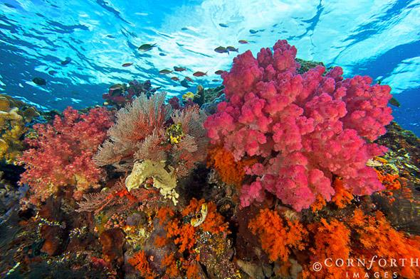 Boo-West-Soft-Corals-2_Misool-Raja-Ampat-Indonesia