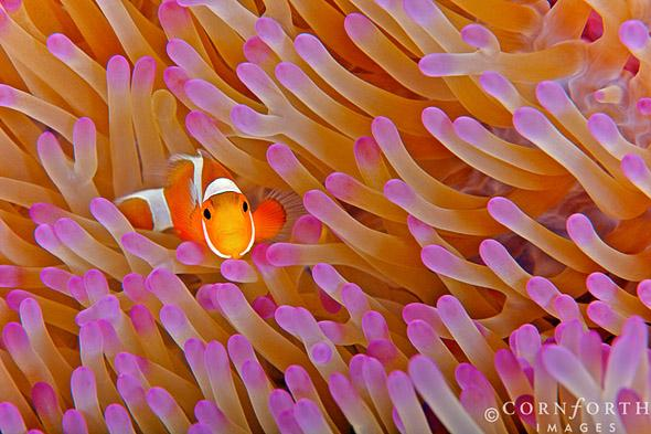 False-Clown-Anemonefish-23_Misool-Raja-Ampat-Indonesia