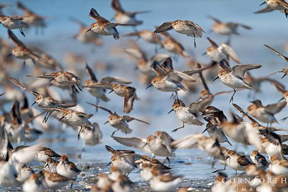 Hartney Bay Sandpipers 01, Prince William Sound, Alaska