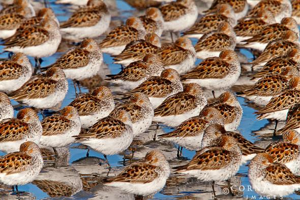 Hartney Bay Sandpipers Attachment