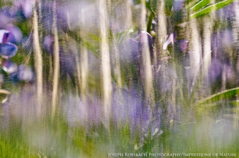 Aspen-and-Lupine-Abstract