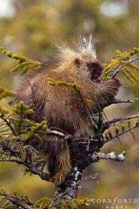 Porcupine-in-Tree-1_Chugach-National-Forest-Alaska