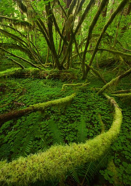 Curving-moss-covered-branch-Sol-Duc-Rain-Forest-Olympic-National-Park-Washington
