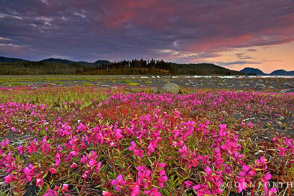 Heather Island Dwarf Fireweed Sunset 1, Prince William Sound, Alaska