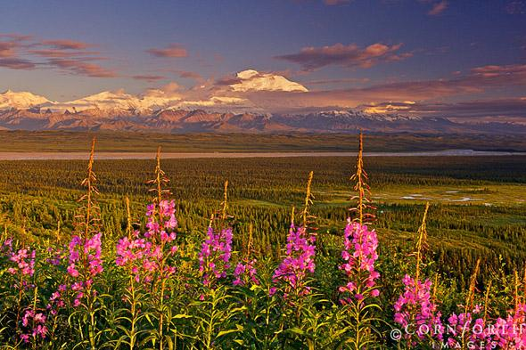 Denali Fireweed at Sunset