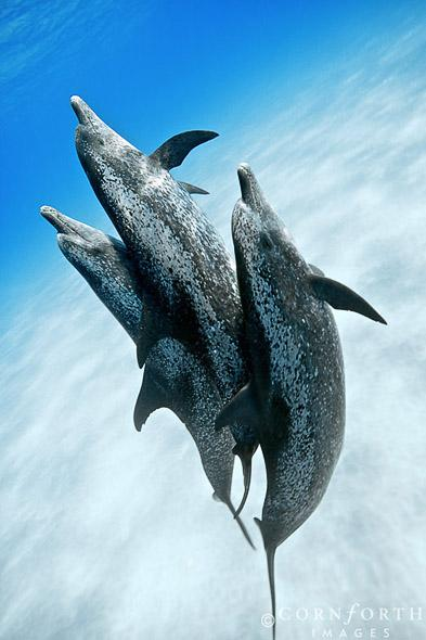 Atlantic-Spotted-Dolphin-02_Grand-Bahama-Bank-Bahamas