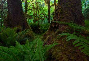 Quinnault-Rain-Forest-at-sunset-Olympic-National-Park-Washington