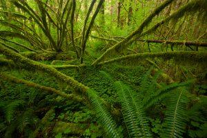 Mossy-trees-Sol-Duc-Rain-Forest-Olympic-National-Park-Washington