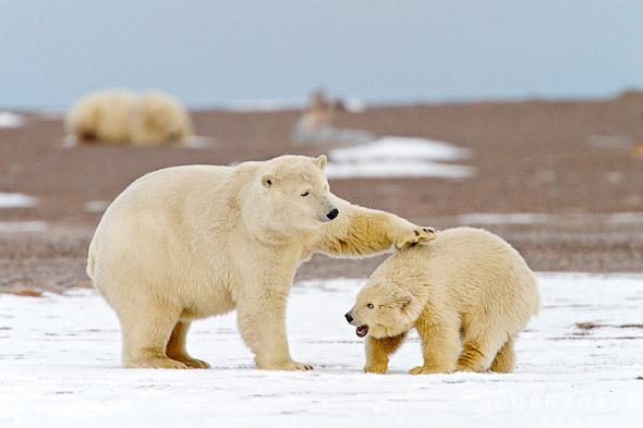 Barter Island Polar Bears 01, Arctic National Wildlife Refuge, Alaska