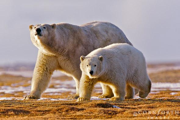 Barter Island Polar Bears 08, Arctic National Wildlife Refuge, Alaska