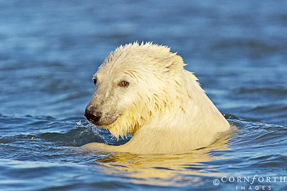Barter Island Polar Bears 35, Arctic National Wildlife Refuge, Alaska