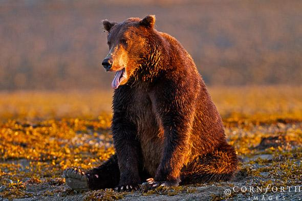 Kukak Brown Bear 10, Katmai National Park, Alaska