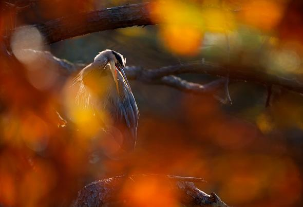 Great-Blue-Heron-through-screen-of-autumn-leaves-Chincoteague-National-Wildlife-Refuge-VA