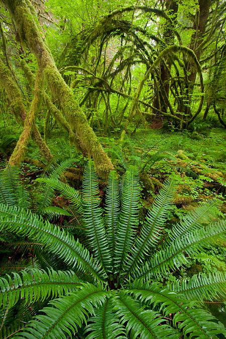 Ferns-and-curving-branches-Hoh-Rain-Forest-Olympic-National-Park-Washington