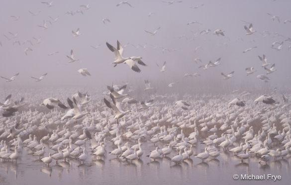 1. Ross's geese taking flight in the fog