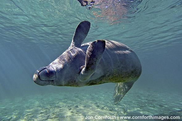 Manatee 05, Crystal River State Park, Florida