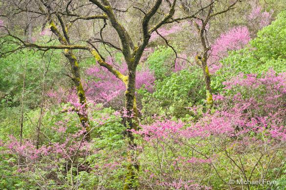 Redbud and oaks, Merced River Canyon, processed in Lightroom 3