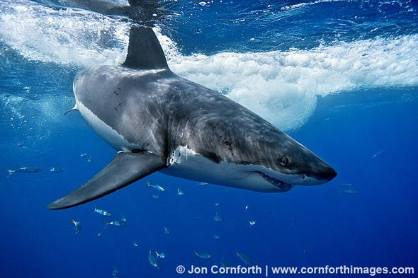 Guadalupe Great White Shark 21