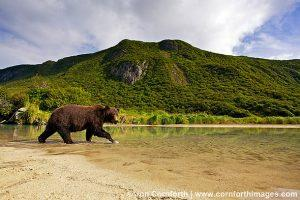 Kuliak-Brown-Bear-5