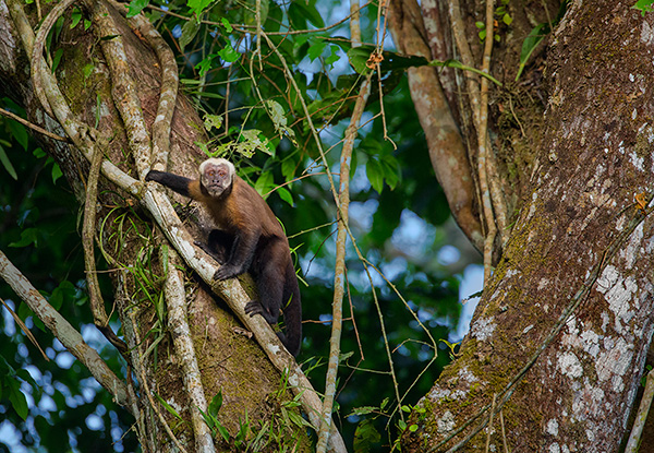 Brown capuchin monkey by Ian Plant