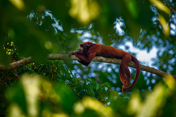Red howler monkey by Ian Plant