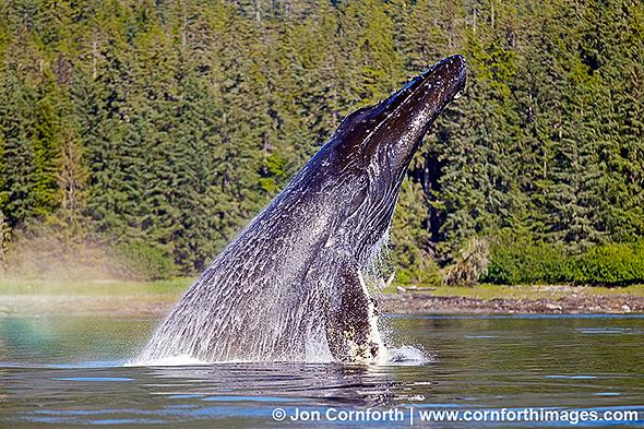 Humpback Whale Breach 200