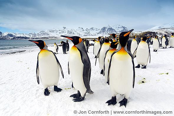 Salisbury-Plain-King-Penguins-2