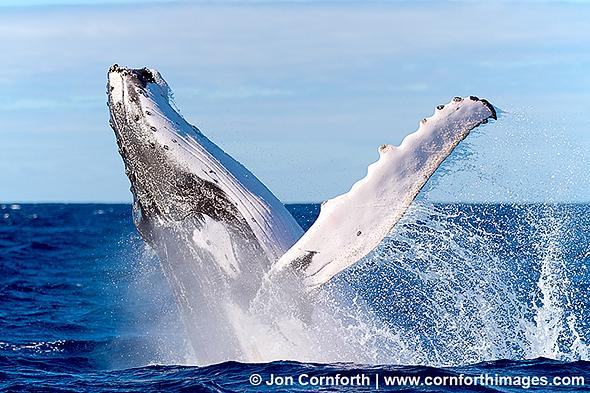 Vavau-Humpback-Whale-Breach-1