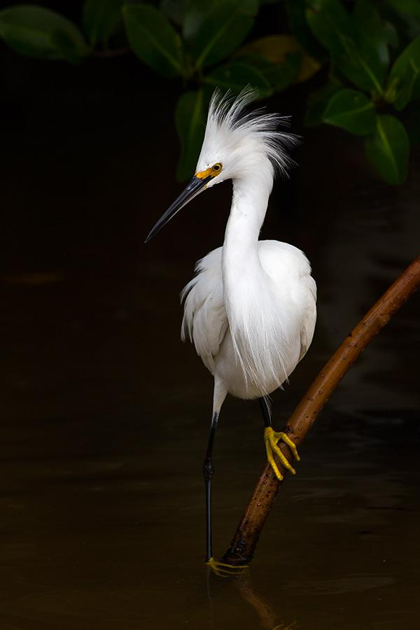 Snowy-egret-on-stick-Ding-Darling-National-Wildlife-Refuge-Florida