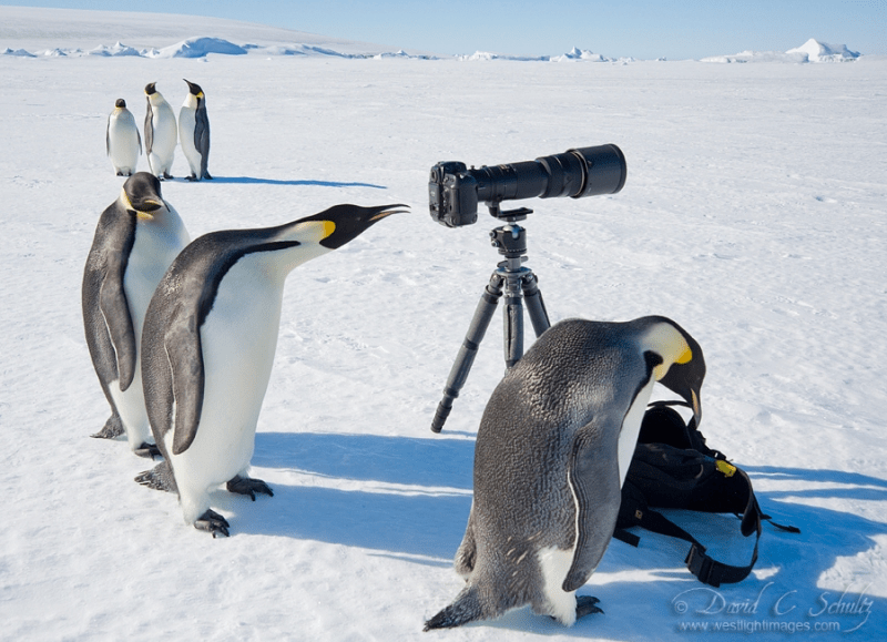 Penguin Paparazzi by David Schultz
