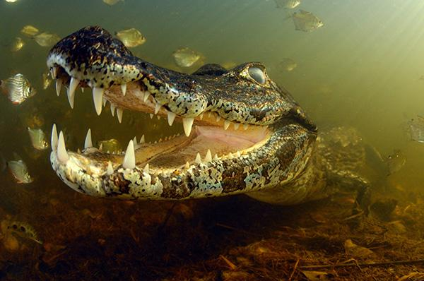 'The Piranha-eater' by Marcelo Krause - The Pantanal, Brazil