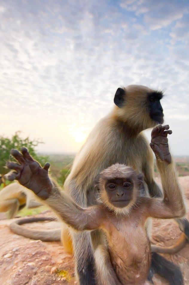 A young Hanuman langur playing with his mother on a cliff in the Thar Desert of India