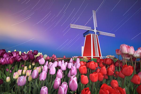 Long exposure nighttime startrails windmill tulips Oregon wooden shoe tulip farm
