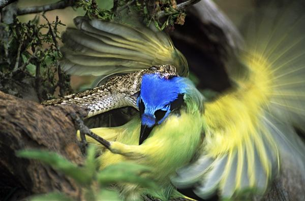 'Western Diamondback Rattlesnake Strikes Green Jay' by Dave Welling Rio Grande Valley South Texas snake viper attack bird