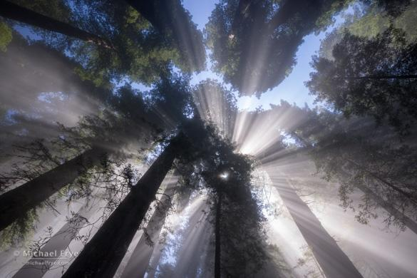 Sunbeams through the redwood canopy, Del Norte Coast Redwoods SP, CA, USA