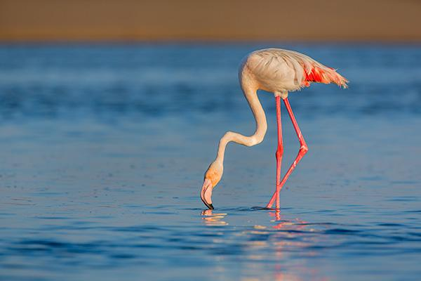 Flamingo-Dorob-National-Park-Namibia