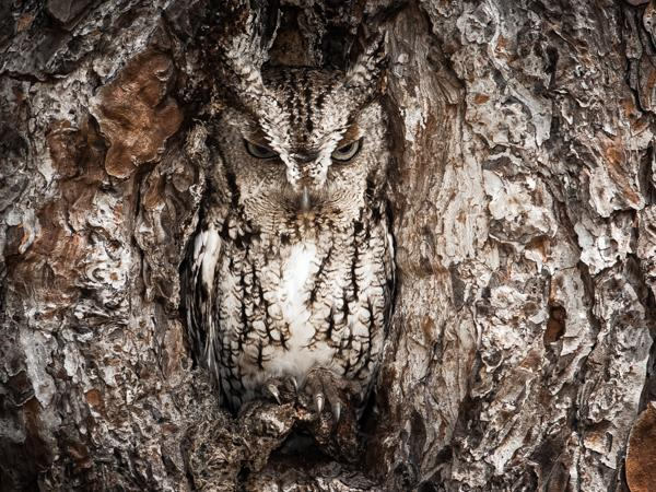 Camouflaged Eastern screech owl hiding in a tree in Okefenokee Swamp along the state border of Georgia and Florida