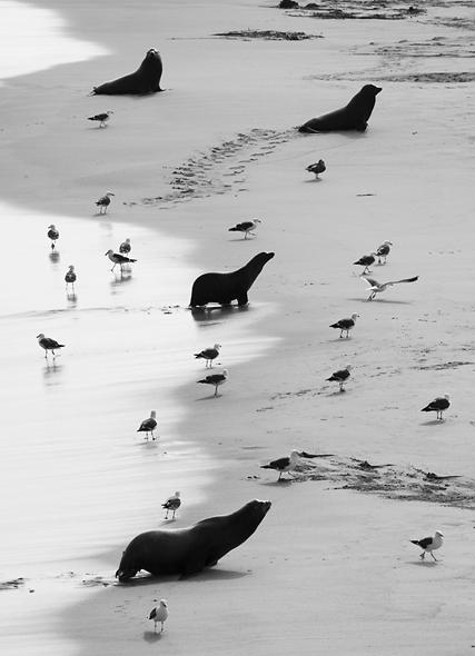 California Sea Lions, Channel Islands