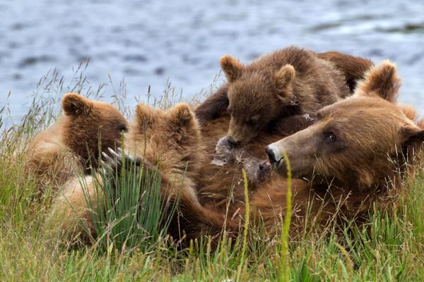 Nursing-Bear-Alaska-by-Jay-Goodrich