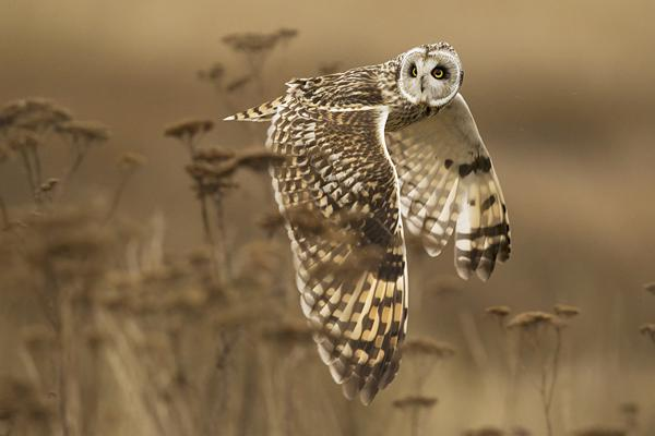 Short eared owl in flight over a field fast shutter speed