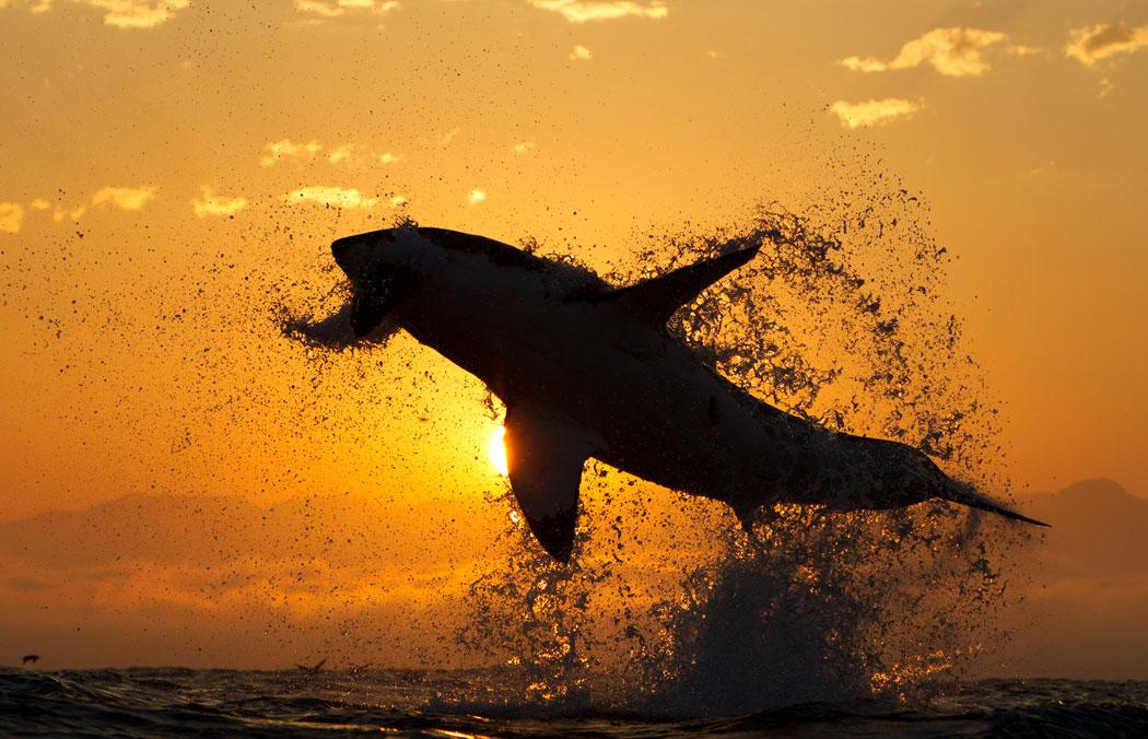 A decoy used to bring a breaching Great white shark to the surface in front of a sunrise off of Cape Town South Africa