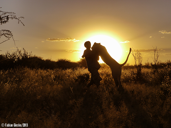 Sirga the lioness lion plays hugs with a person silhouette against a sunset in Botswana Southern Africa