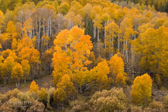 Autumn aspens, Conway Summit, Inyo NF, CA, USA