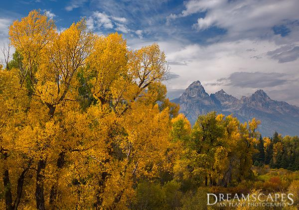 Autumn-cottonwood-trees-Grand-Teton-National-Park-Wyoming